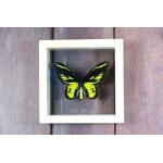 Ornithoptera Rothschidi ♥ผีเสื้อปีกนกรอธไชลด์ ในกล่องไม้ ,กระจกใสสองด้าน ♥