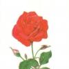 แนวภาพดอกไม้ ดอกกุหลาบสีแดง บนพื้นครีม มีภาพ 8 ดอกในแผ่น กระดาษแนพคินสำหรับทำงาน เดคูพาจ Decoupage Paper Napkins ขนาด 21X22cm