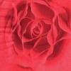 แนวภาพดอกไม้ ภาพดอกกุหลาบสีแดงดอกใหญ่ ภาพโทนสีแดง เป็นกระดาษ 4 บล๊อค กระดาษแนพกิ้นสำหรับทำงาน เดคูพาจ Decoupage Paper Napkins ขนาด 33X33cm