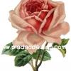 กระดาษสาพิมพ์ลาย สำหรับทำงาน เดคูพาจ Decoupage แนวภาำพ ภาพวาด ดอกกุหลาบสีส้ม ดอกใหญ่มาก ก้านแข็ง หนามเยอะ (ปลาดาวดีไซน์)
