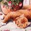 กระดาษสาพิมพ์ลาย สำหรับทำงาน เดคูพาจ Decoupage แนวภาำพ น้องแมวสีทอง นอนแหงะหน้ามามองกล้อง thumbnail 1