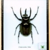 3 horned beetle-medium