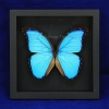 "Box - 7x7 All black view ""Didius Blue Morpho Butterfly"""