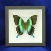 "Box - 6x6 Black frame""Majestic Green Swallowtail Butterfly"""