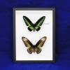 "Box - 9x12 Black frame""Rajah Brooke Butterfly"" (Pair)"
